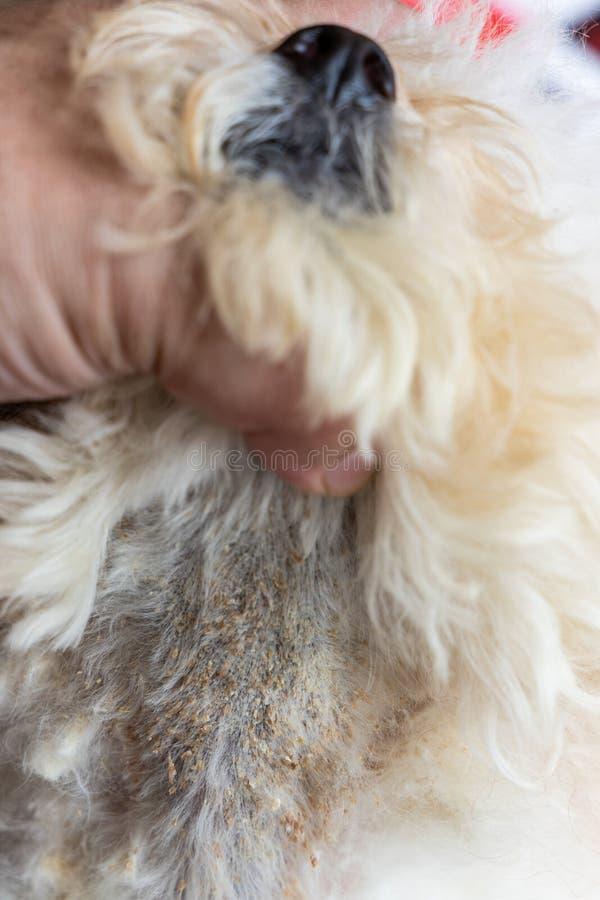 Vet examining dog body skin with bad yeast fungal infection. Vet examining dog with bad yeast and fungal infection on her skin and body. Itchy, darken, dry stock images