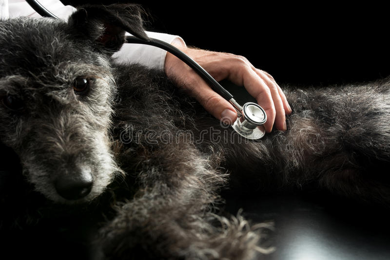 Vet examining a dog with a stethoscope stock images