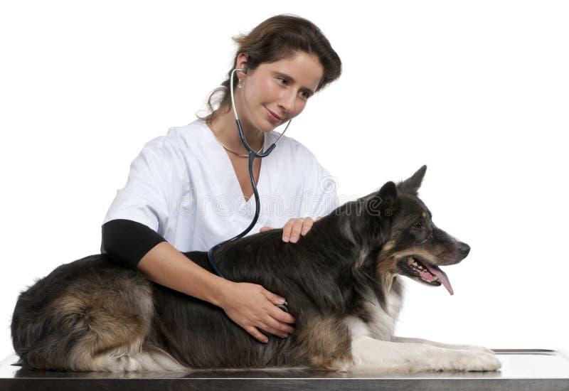 vet för stetoskop för kantcollie undersökande royaltyfria foton