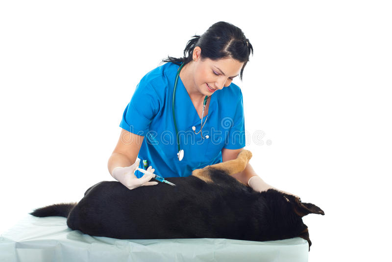 Vet inject a dog stock image