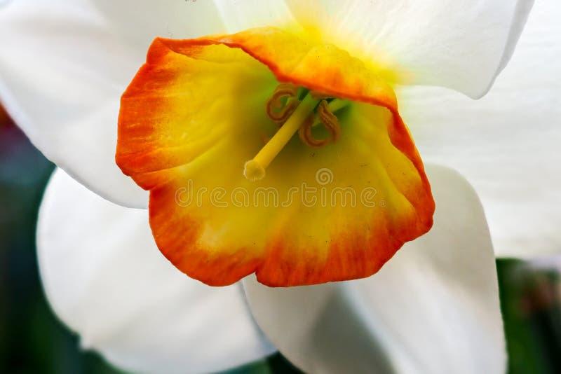 Vet också som poetpåsklilja, blomma poetpingstliljablomman fotografering för bildbyråer