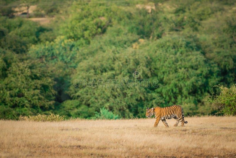 Vet, onbevreesd en speels tijgersnoep loopt door bij afwezigheid van moeder op groene achtergrond in het nationale park van ranth royalty-vrije stock afbeelding