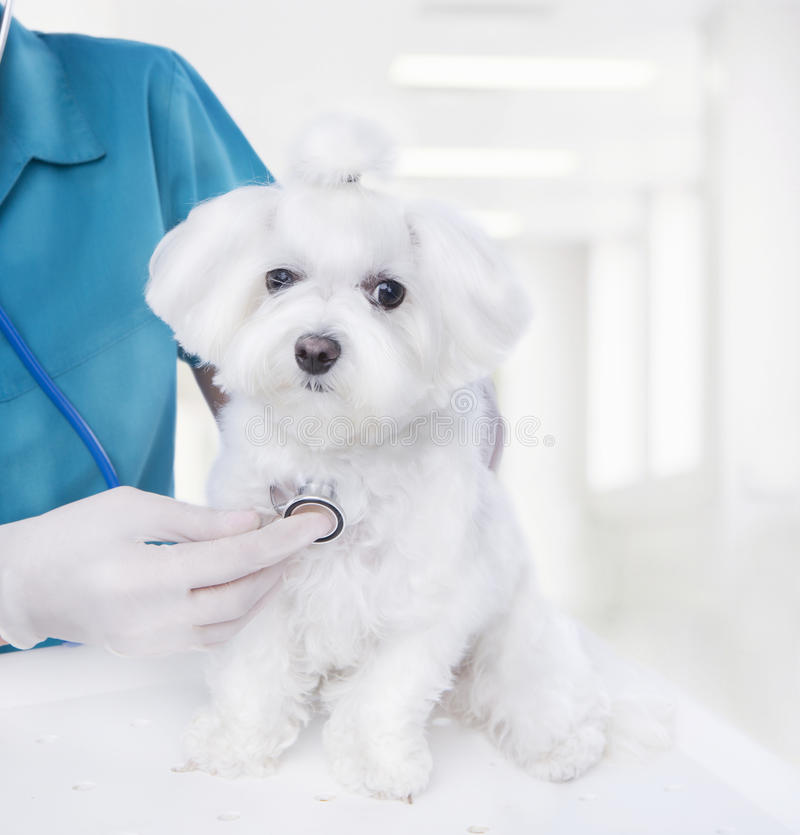 Vet with small puppy. Doctor listening to a stethoscope veterinarian inspects a small Maltese puppy inside a light veterinary clinic stock images