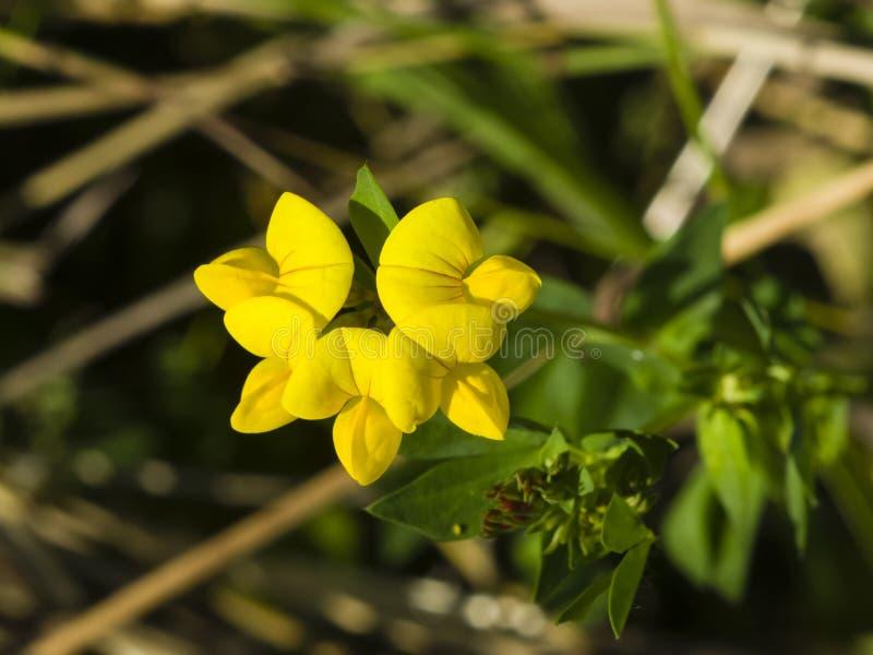 Vetchling луга, pratensis Lathyrus, конец-вверх цветения, селективный фокус, отмелый DOF стоковые изображения rf
