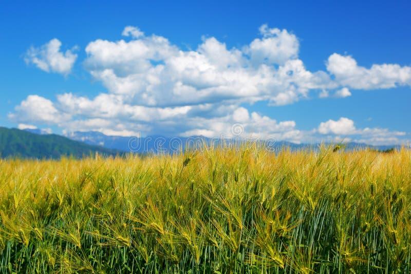 Veteåker mot den blåa skyen royaltyfri fotografi