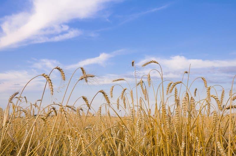 Veteåker och grova spikar mot en blå himmel med moln fotografering för bildbyråer