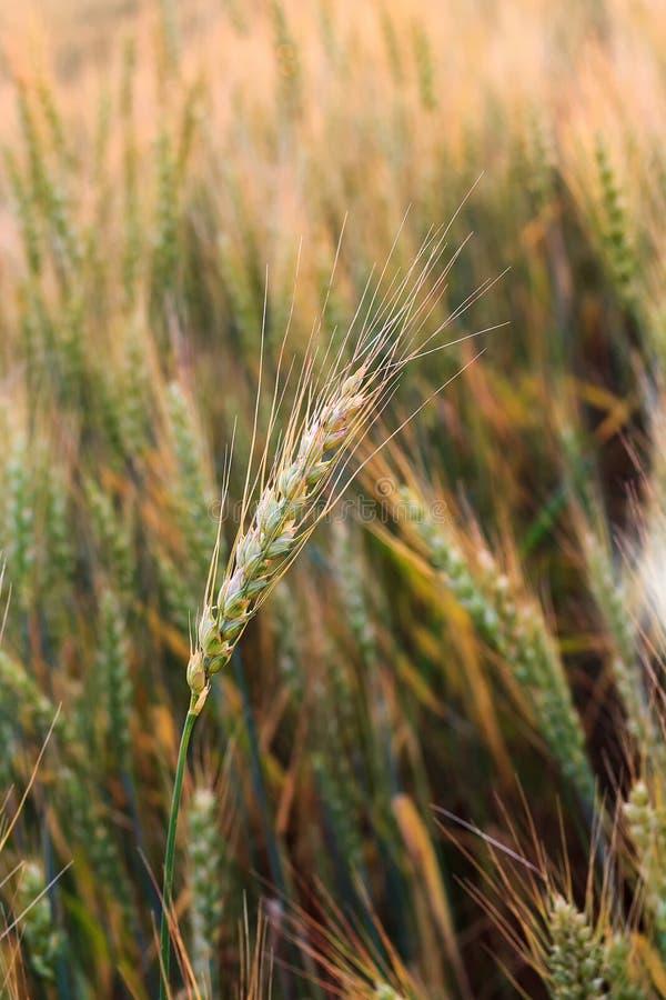 Veteöra mot bakgrunden av ett vetefält fotografering för bildbyråer