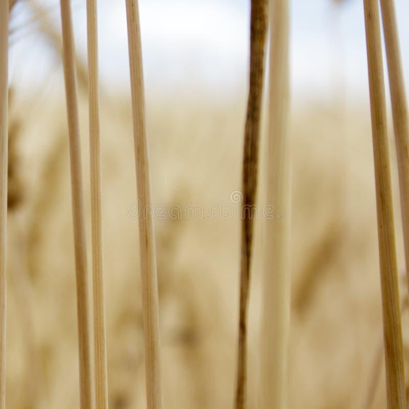 Vete fält, spikelets som är guld-, bakgrund, skörd, natur, korn som är moget, sommar, lantgård, skörd, landskap, åkerbrukt som är arkivfoton