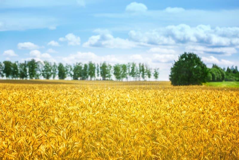 vete för sommar för dagfält varmt Öron av det guld- veteslutet upp Bakgrund av att mogna öron av ängvetefältet Richskördbegrepp a arkivbilder