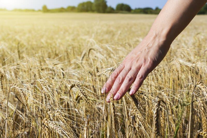 Vete förestående Växt natur, råg Skörd på lantgård Stammen med kärnar ur för sädes- bröd royaltyfri bild