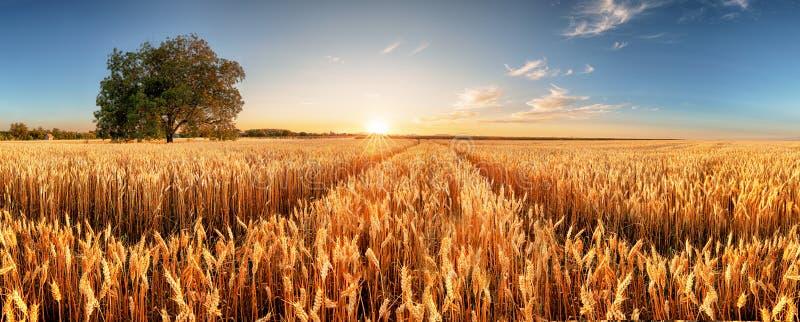 Vete flied panorama med trädet på solnedgången, lantlig bygd - jordbruk royaltyfria bilder