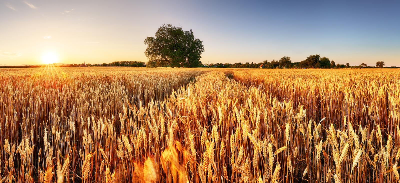 Vete flied panorama med trädet på solnedgången, lantlig bygd - jordbruk fotografering för bildbyråer