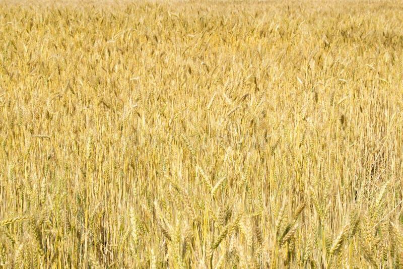 Vete gå i ax närbild i solen Omoget vete i fältet och i morgonsolen Vete i varmt solljus royaltyfri bild