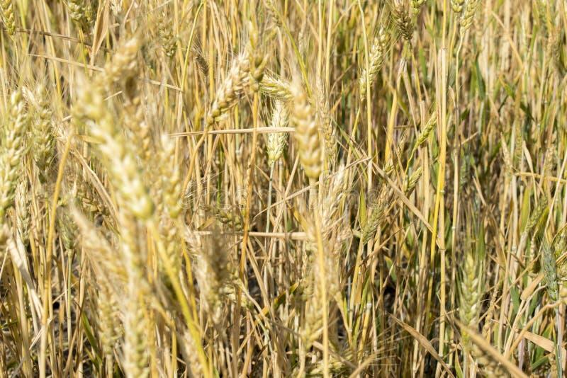 Vete gå i ax närbild i solen Omoget vete i fältet och i morgonsolen Vete i varmt solljus royaltyfri foto