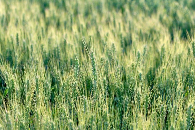 Vete havre, r?g, korn - omoget jordbruks- f?lt arkivbild