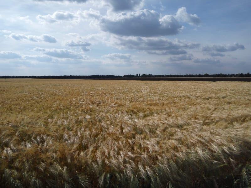 Vete havrefält, himmel, moln, natur, bröd arkivbild