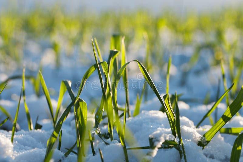 Vete i snow. fotografering för bildbyråer