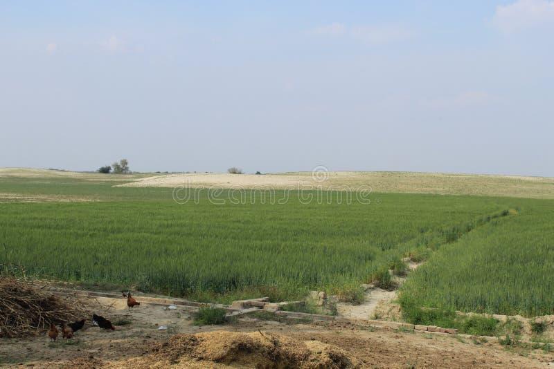 Vete- och chikpeafält arkivfoton