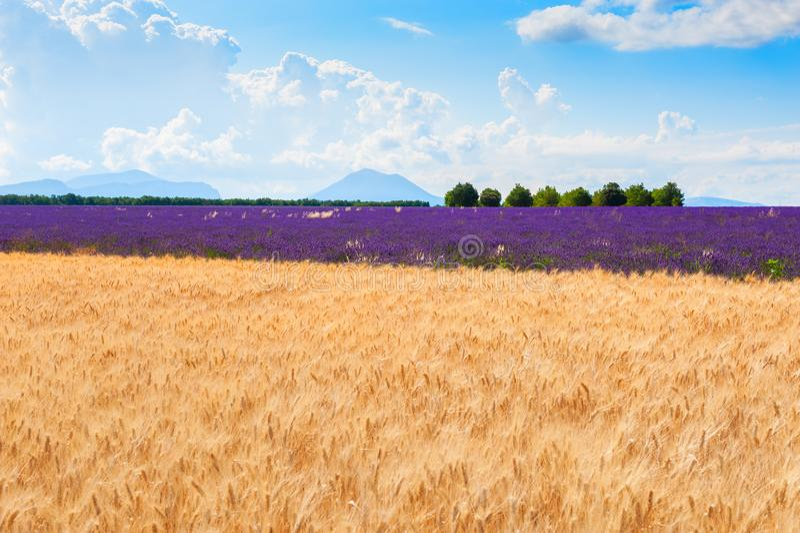 Vete- och lavendelfält nära Valensole, Provence, Frankrike arkivfoto