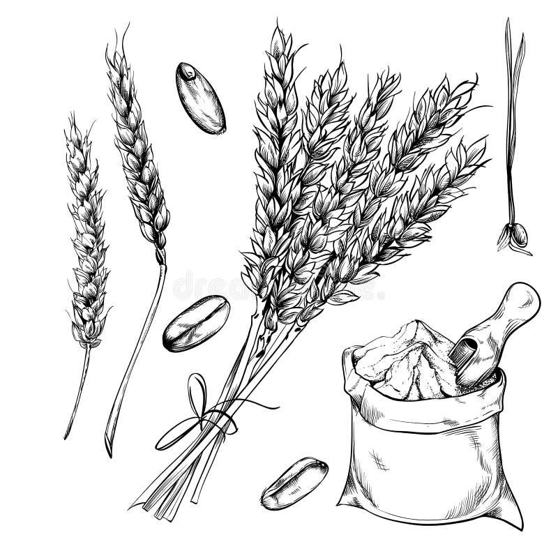 Vete, råg och korn på vit bakgrund royaltyfria foton