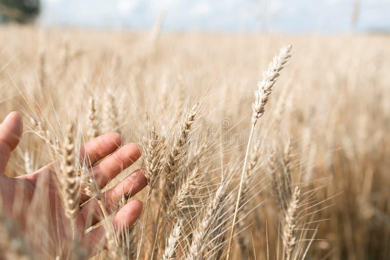 Vete spirar i en hand för bonde` s Bonde Walking Through Field som kontrollerar veteskörden royaltyfria bilder