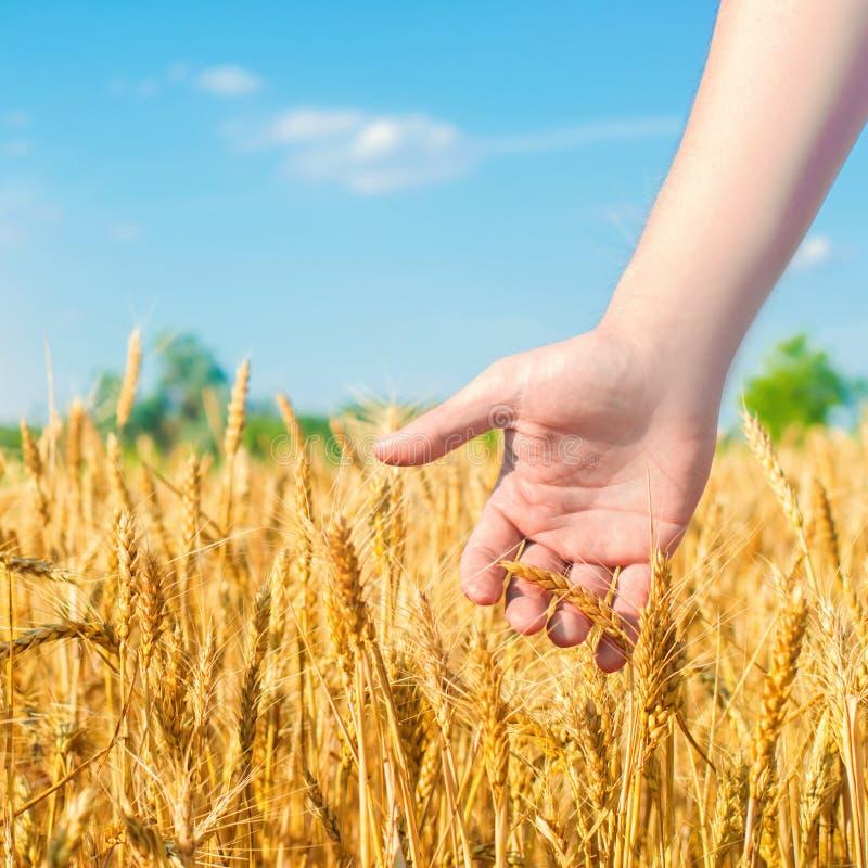 Vete spirar i en hand f?r bonde` s vetekultur och closeup f?r bl? himmel guld- f?lt h?rlig sikt symbol av sk arkivfoton