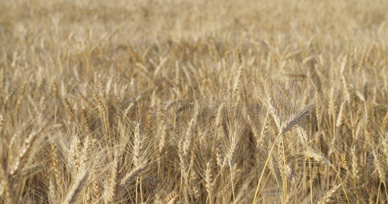 Vetefält i august för skördultrarapid arkivbild