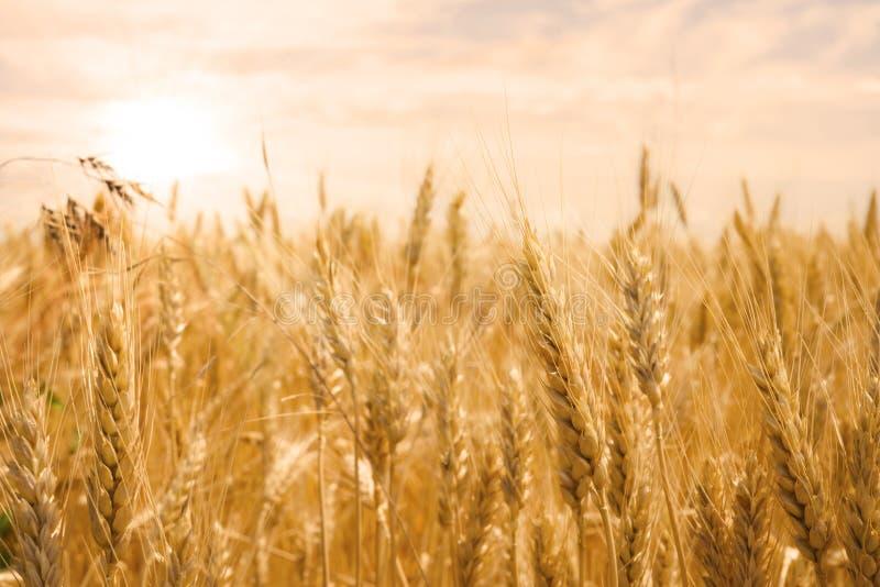 Vetefält i guld- glöd av solen royaltyfri foto