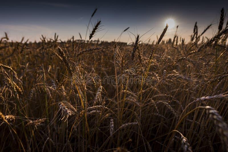 Vetefält i nordliga Wisconsin fotografering för bildbyråer