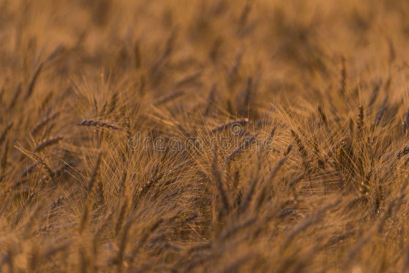 Vetefält i nordliga Wisconsin arkivfoto