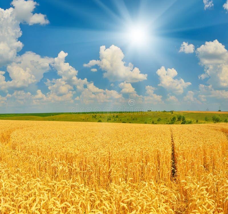 Vetefält i sommarbygd i soligt väder arkivbilder