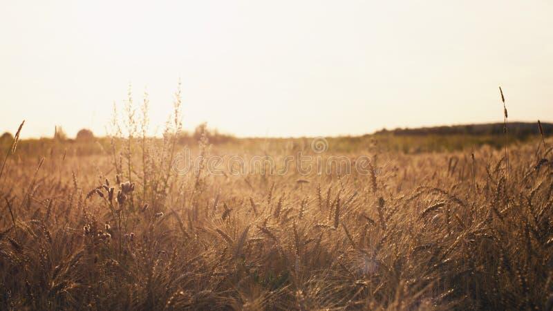 Vetefält i sommarsolnedgångljus arkivfoton