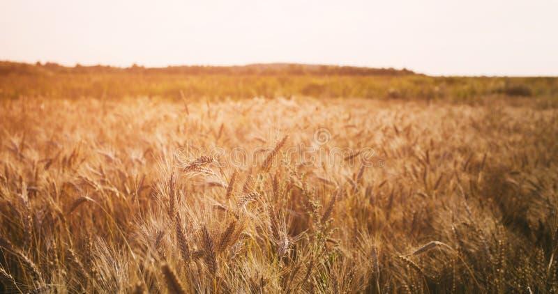 Vetefält i sommarsolnedgångljus arkivbilder