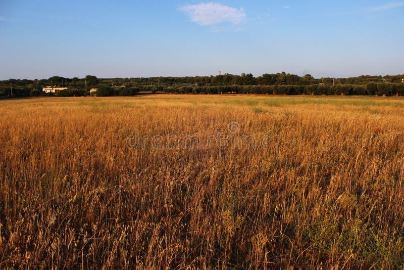 Vetefält i sydliga Italien royaltyfria foton