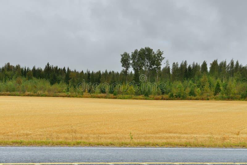 Vetefält längs vägen i regnig dag för höst royaltyfri foto