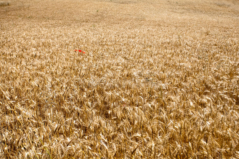 Vetefält med den röda vallmon arkivfoton