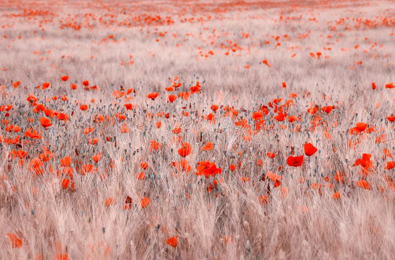 Vetefält med gemensam vallmobakgrund arkivbilder