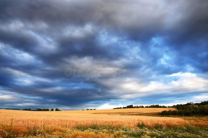 Vetefält med mörka stormmoln för regn royaltyfri fotografi