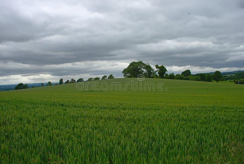 Vetefält med skogar och himmel i bakgrund royaltyfri fotografi
