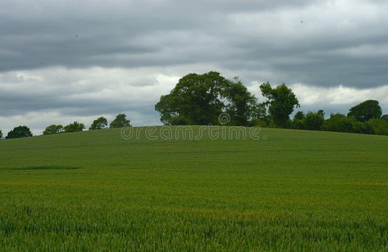 Vetefält med skogar och himmel i bakgrund arkivbild