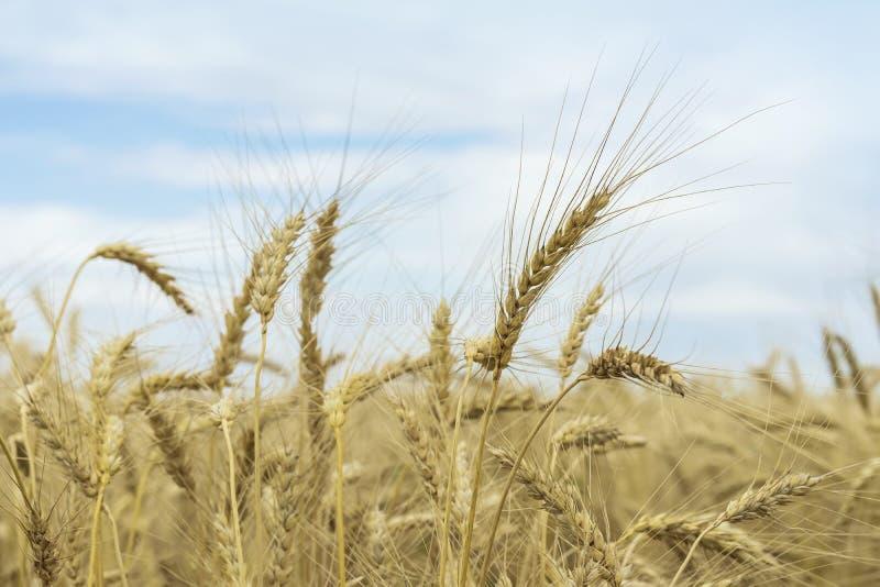 Vetefält, moget korn, rågfält i solig dag mot blå himmel med moln Lantlig bakgrund för jordbruks- sommar arkivbild