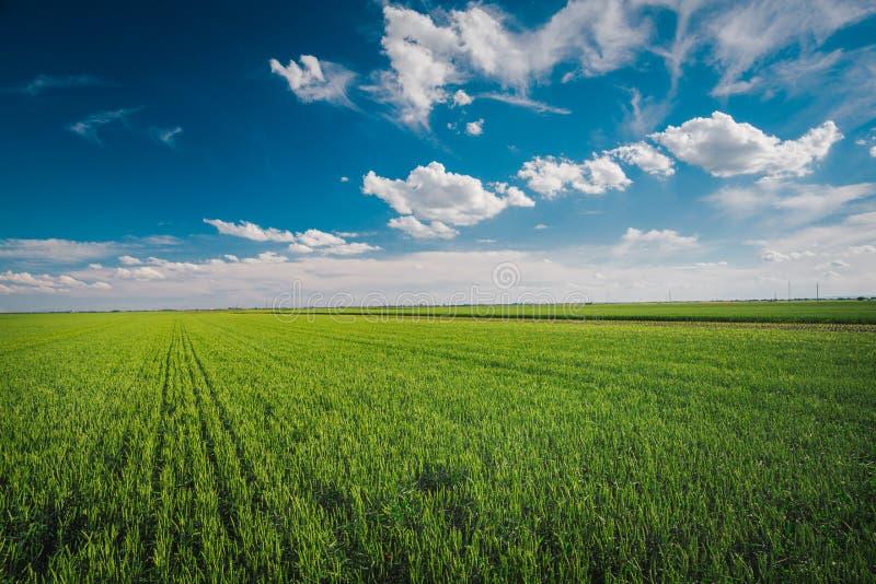 Vetefält mot blå himmel med vita moln arkivfoto
