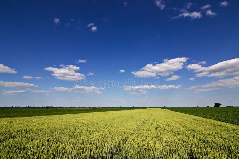Vetefält och bygdlandskap Vetefält och moln Grönt vetefält på solig dag, blå himmel arkivbilder