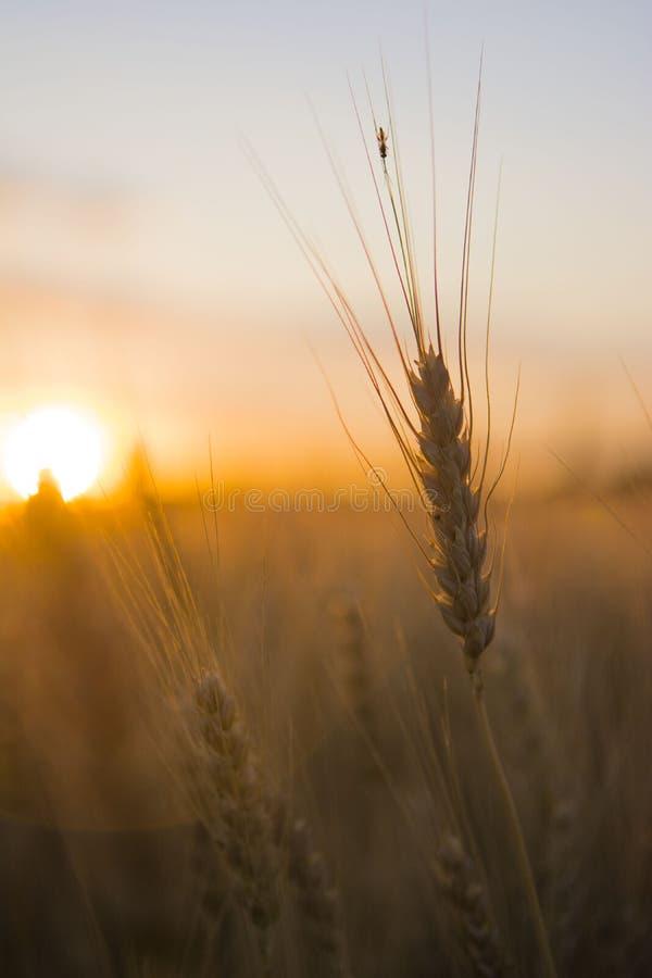 Vetefält på soluppgång royaltyfri bild