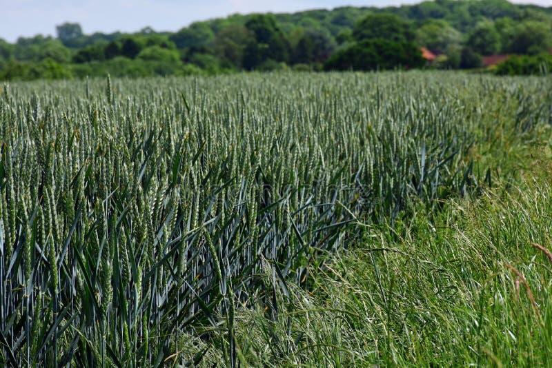 Vetefält, Shotesham, Norfolk, England i Juni royaltyfri fotografi