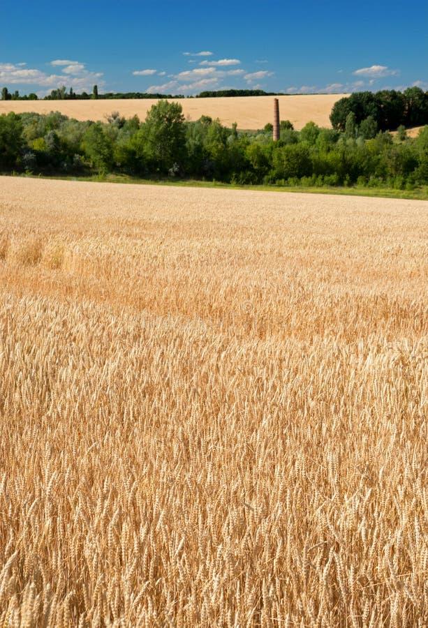 Vetefält som mognar öron mot den blåa himlen och jordningen arkivbilder