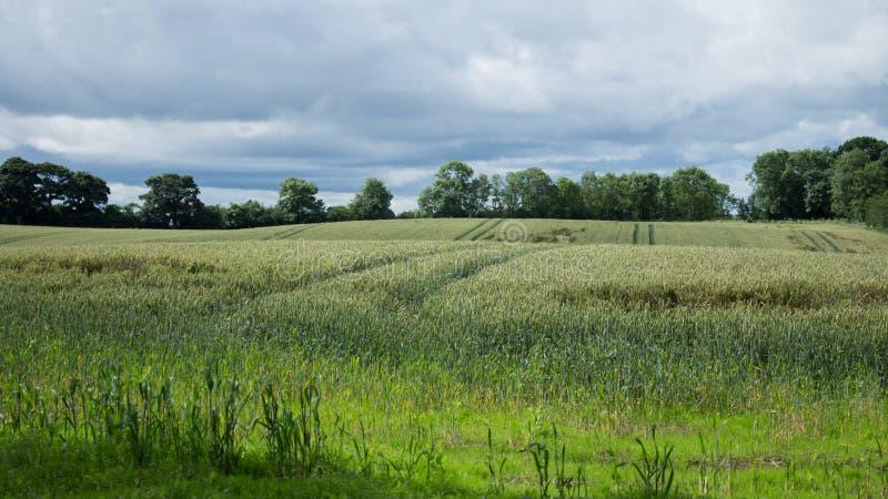 Vetefält som omges av Forrests royaltyfri foto