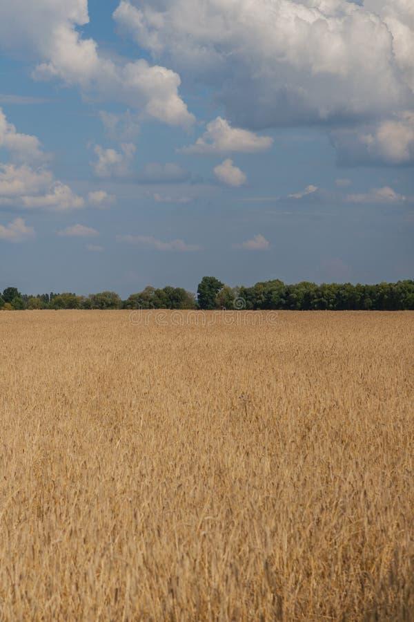 vetefält som omges av träd med moln mot den blåa himlen royaltyfri fotografi
