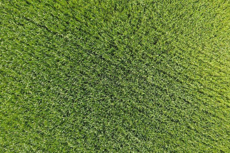 Vetefältet är grönt Ungt vete på fältet Sikt från Ab royaltyfri foto