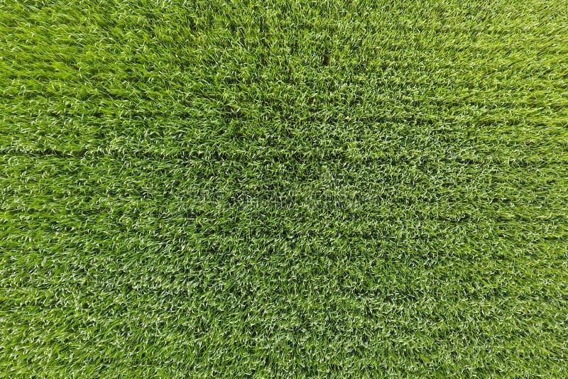 Vetefältet är grönt Ungt vete på fältet Sikt från Ab arkivbild